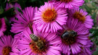 aster-flower-bees